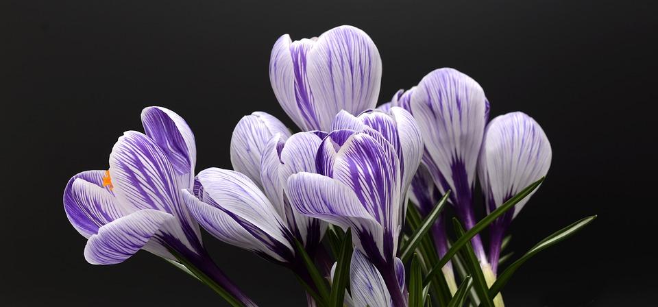 crocus fleur décorer maison